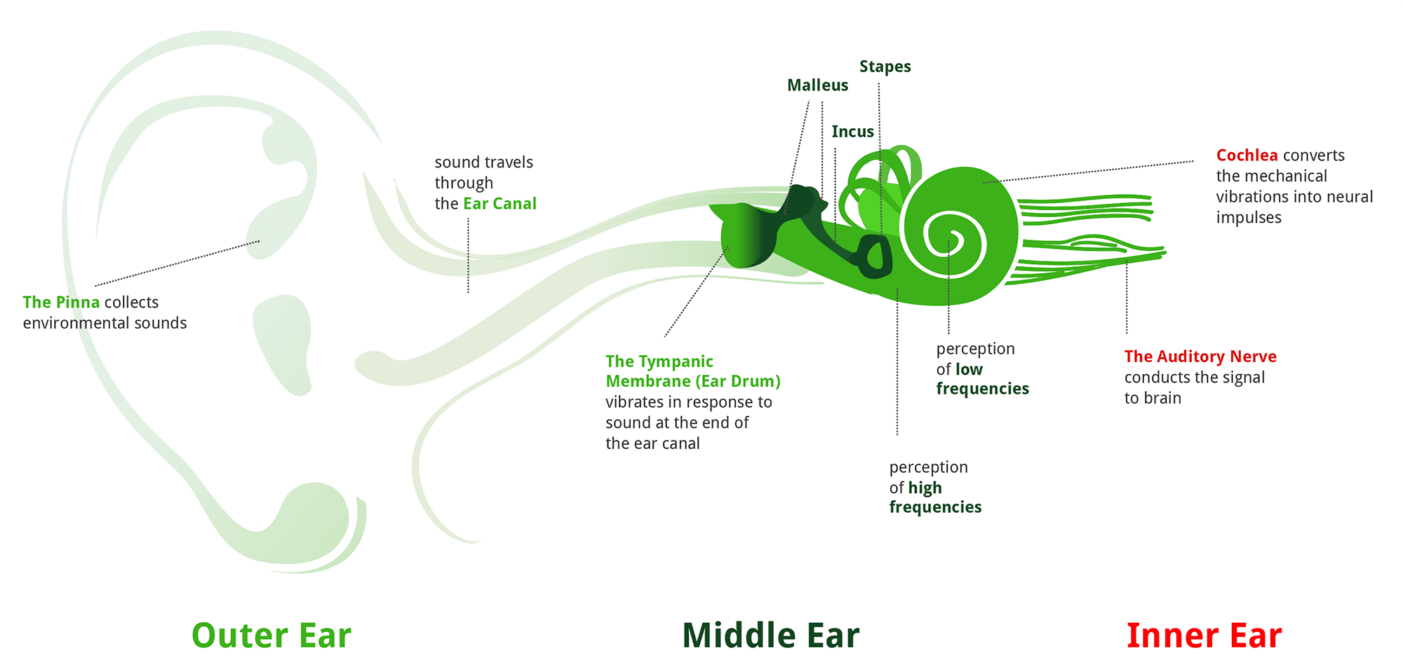 Journey through the ear